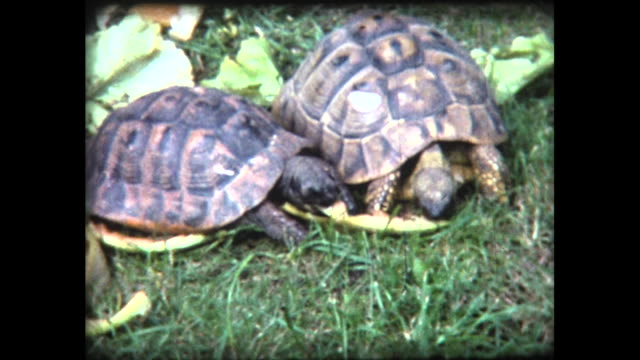 1980 two tortoises munch melon rind side by side - tortoise stock videos & royalty-free footage