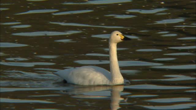 two tundra swans (cygnus columbianus) grooming themselves on oyama shimo-ike pond - water bird stock videos & royalty-free footage