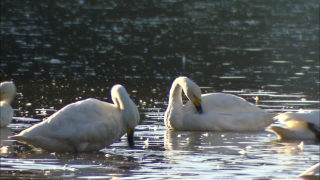 two tundra swans (cygnus columbianus) grooming themselves on oyama shimo-ike pond - water bird stock videos & royalty-free footage