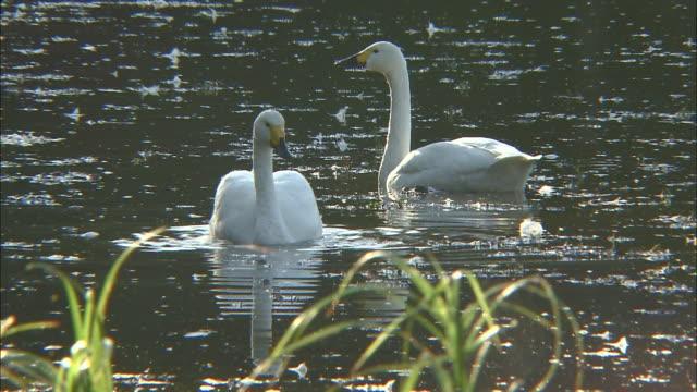 two tundra swans (cygnus columbianus) on oyama shimo-ike pond - water bird stock videos & royalty-free footage