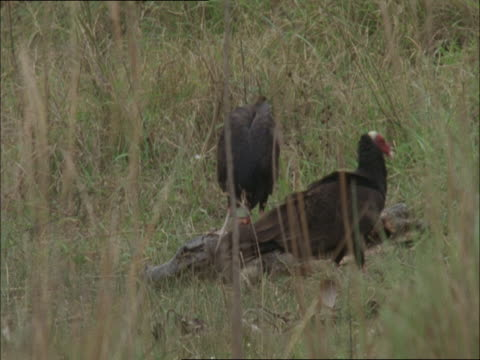 two turkey vultures feed on the corpse of a caiman. - aas fressen stock-videos und b-roll-filmmaterial