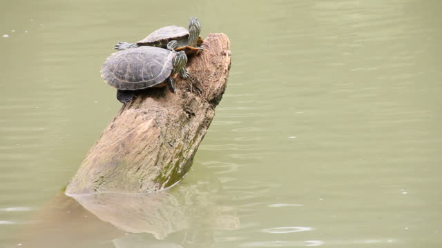 two turtle perched on a tree stump. - animal family stock videos & royalty-free footage