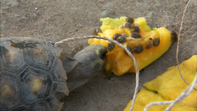 Two turtles eating tropical fruit