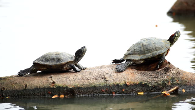 two turtles on logs in the water. - two animals stock videos & royalty-free footage