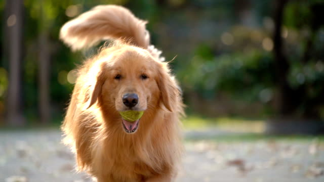 two slo mo two golden retrievers with tennis ball in mouth - catching stock videos & royalty-free footage