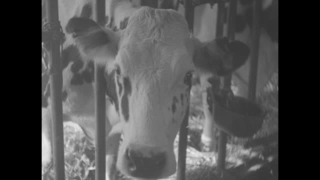 two unidentified men / cattle in stalls eating from a mound of hay / with rumps of the animals in a row a worker uses a suction device to pump the... - milk box stock videos & royalty-free footage