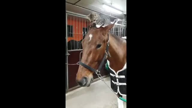 two unlikely friends spent some time together in a yard in rättvik, sweden. the brave cat climbed along the neck of his horse pal, and proceeded to... - animal neck stock videos & royalty-free footage
