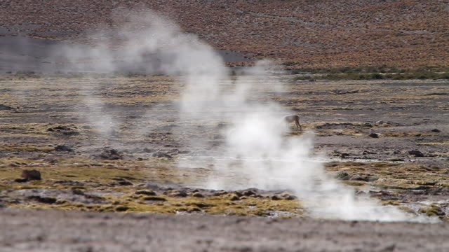 ms two vicunas grazing in geyser field and steam coming out from ground / geiser del tatio, atacama desert, chile - geyser stock videos and b-roll footage