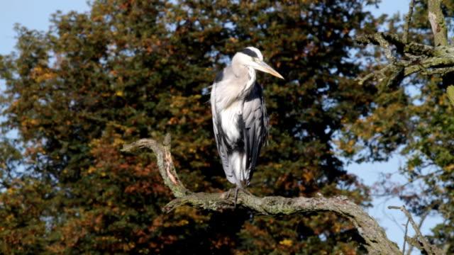 Resting grey heron Ardea cinerea perched on branch HD video