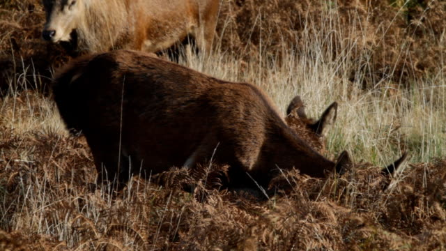 red deer hind chewing with stag in background hd video - bracken stock videos and b-roll footage