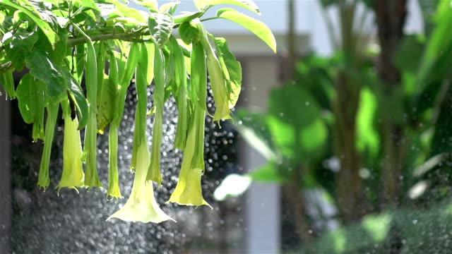vídeos de stock, filmes e b-roll de dois vídeos de flores de trombeta anjos em real slow motion - jardim de versailles
