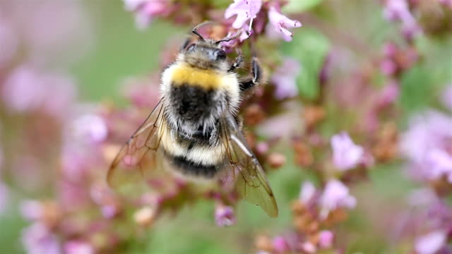 two videos of bumble bee in macro shot in slow motion - bee stock videos & royalty-free footage