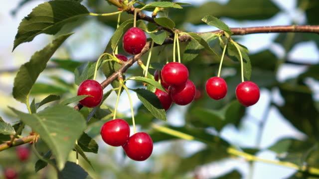 vidéos et rushes de deux vidéos de cerisier tree in 4k - branche partie d'une plante