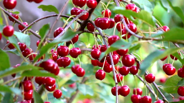 Two videos of cherry tree in real slow motion