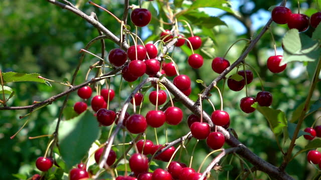two videos of cherry tree in real slow motion - fruit tree stock videos & royalty-free footage
