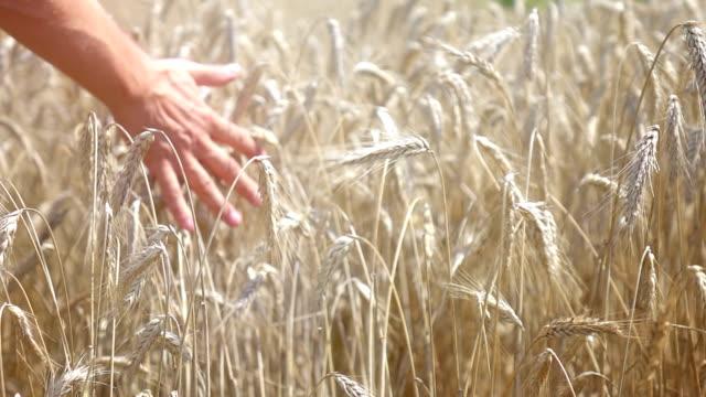 due video di mano delicata grano nel campo-al rallentatore - orzo video stock e b–roll