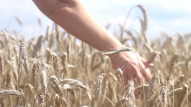 Two videos of hand caressing wheat-real slow motion