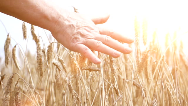 two videos of hand touching wheat in the field-slow motion - grass family stock videos & royalty-free footage