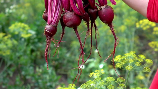 Two videos of hands holding beetroots in real slow motion
