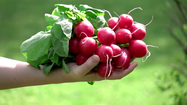 Two videos of hands holding bunch of radish -real slow motion