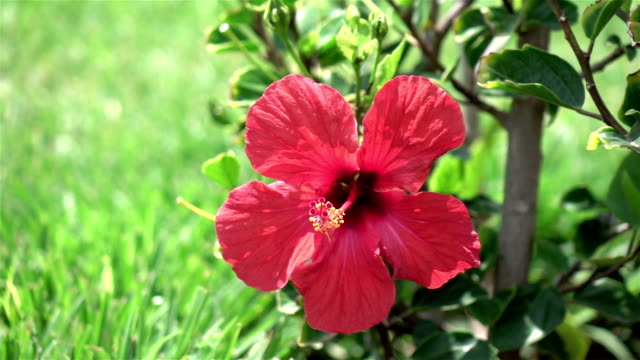 Two videos of hibiscus flower in the garden-real slow motion