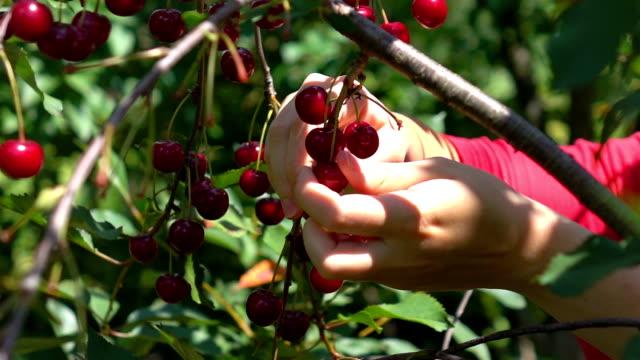 vídeos de stock, filmes e b-roll de dois vídeos de escolher frutas cereja na real câmara lenta - pegada