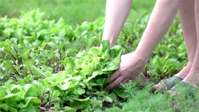 two videos of picking lettuce in real slow motion - gardening stock videos & royalty-free footage