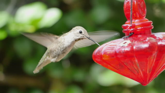 Two videos of real humming bird in 4K