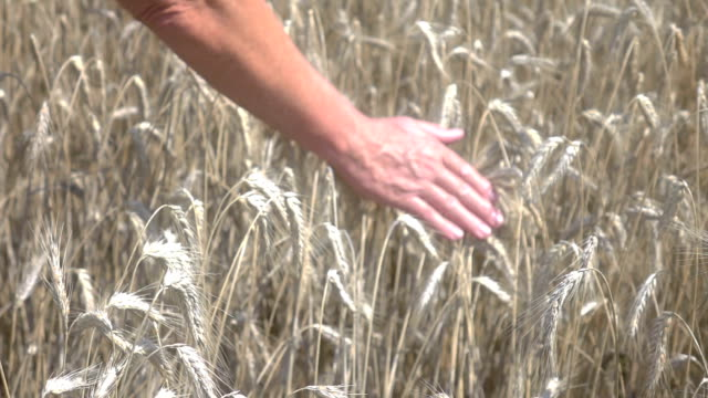 two videos of senior man caressing wheat in field-slow motion - ear of wheat stock videos and b-roll footage