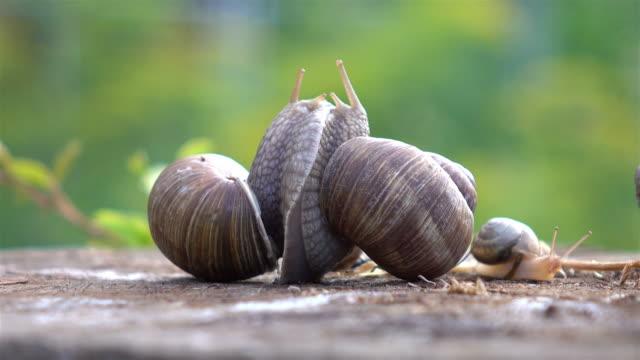 Two videos of snails love in 4K