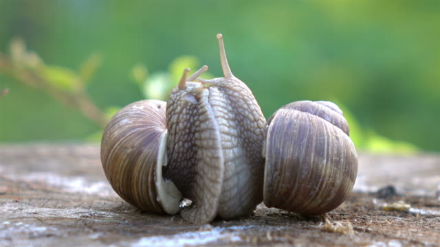 two videos of snails love in 4k - snail stock videos & royalty-free footage
