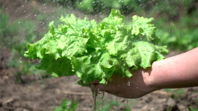 two videos of washing lettuce in real slow motion - lettuce stock videos & royalty-free footage