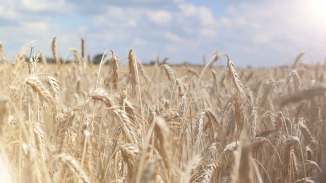 Two videos of wheat field in 4K-professional electronic slider