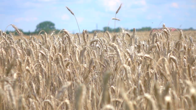 Two videos of wheat field in real slow motion