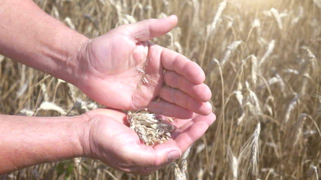two videos of wheat grains in the hands in the field-slow motion - ear of wheat stock videos and b-roll footage