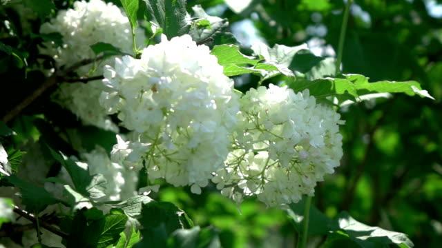 vídeos y material grabado en eventos de stock de dos vídeos de hortensia real blanca en cámara lenta - hortensia