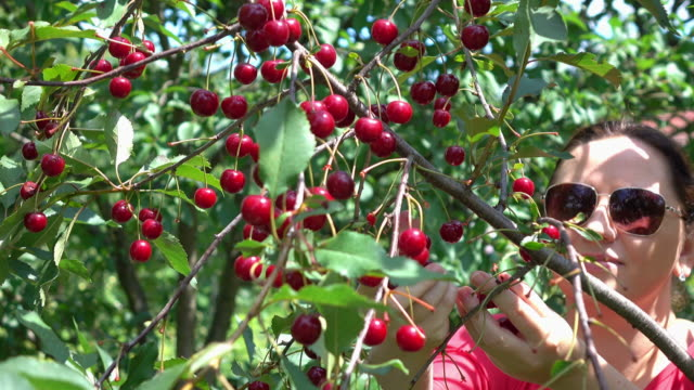 Two videos of woman picking cherry fruit in 4K