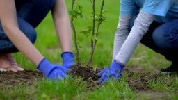 Two volunteers planting tree together, environmental project participation