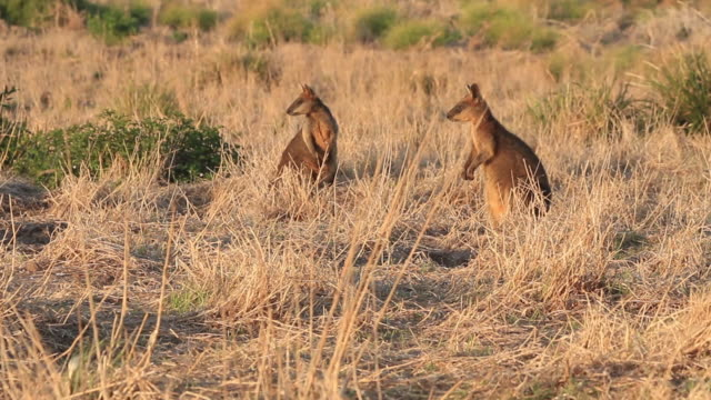 vídeos de stock, filmes e b-roll de two wallabies on a hillside - marsupial
