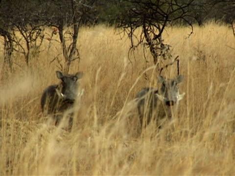 two warthogs - herbivorous stock videos & royalty-free footage