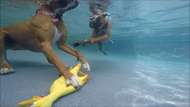 two water-loving boxers take turns diving for their rubber chicken. it's impressive how well they can dive and how much they love to swim! - boxer dog stock videos & royalty-free footage