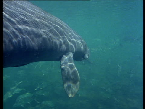 vídeos de stock e filmes b-roll de two west indian manatees dappled with sun light swim slowly just below water's surface - pelagem de animal
