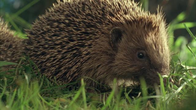 cu, selective focus, pan, two western european hedgehogs (erinaceus europaeus) in grass, united kingdom - hedgehog stock videos & royalty-free footage