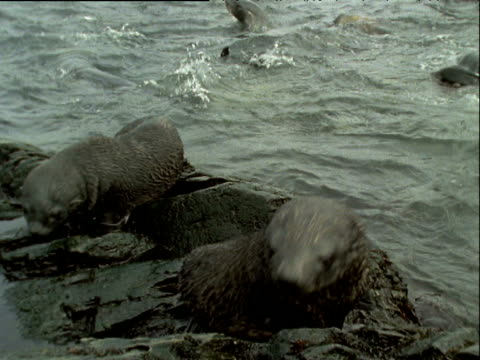 vídeos de stock, filmes e b-roll de two wet juvenile fur seals on rock at sea edge looking around curiously and bowing up and down. adults swimming in background - peitoril de janela