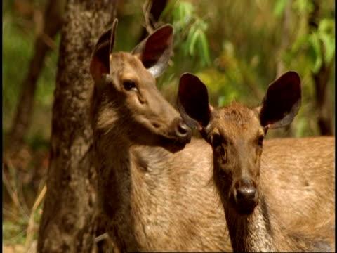 ms two wet sambar deer (rusa unicolor) standing, looking alert, bandhavgarh national park, india - national icon stock videos & royalty-free footage
