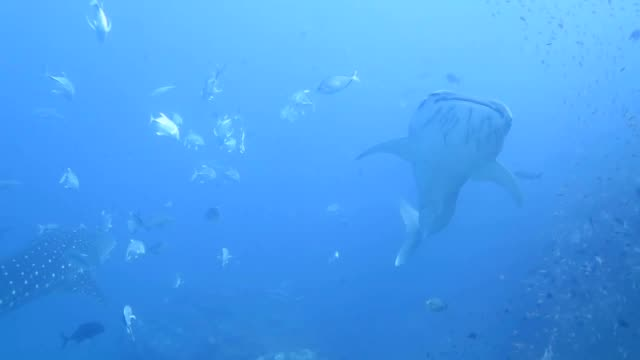 two whale shark swimming together - animal fin stock videos & royalty-free footage