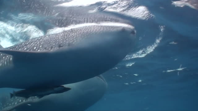 two whale sharks feeding at the surface, side on view, cenderawasih bay, west papua, indonesia. - animal colour stock videos & royalty-free footage
