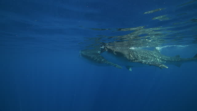 two whale sharks swimming and feeding at the surface of the water - walhai stock-videos und b-roll-filmmaterial