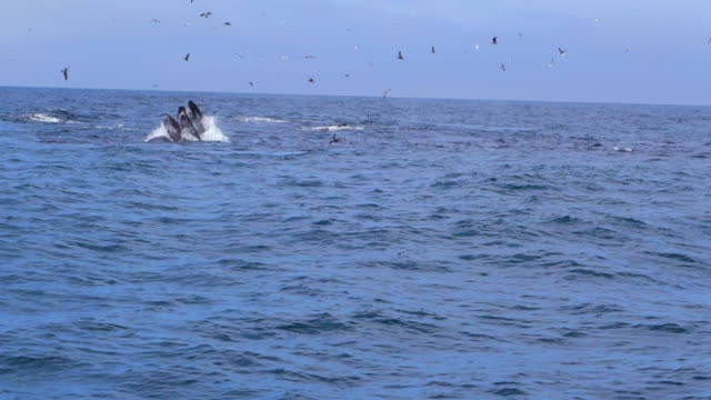 stockvideo's en b-roll-footage met two whales open mouths to feed in monterey, ca - cetacea