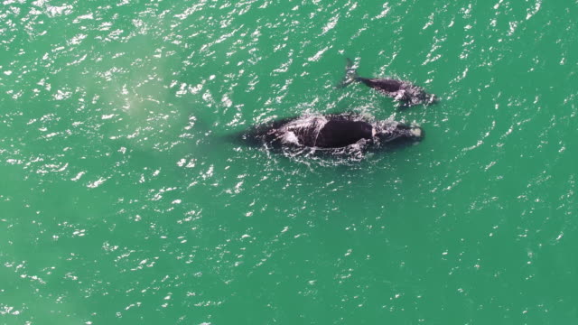 vídeos de stock e filmes b-roll de two whales playing in the sea - cetáceo